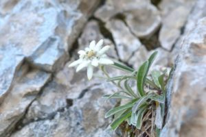 image d'edelweiss